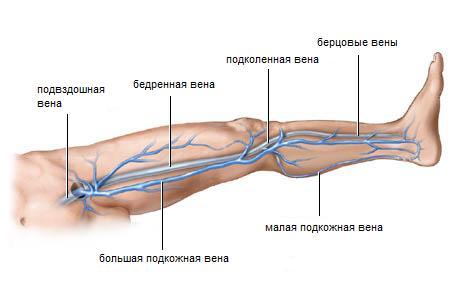 Нижние конечности: анатомия и особенности их венозной системы ...
